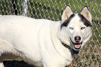 Siberian Husky Dog for adoption in Sycamore, Illinois - Lexa