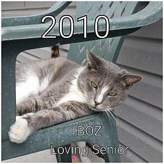 Domestic Shorthair Cat for adoption in Smithtown, New York - Boz