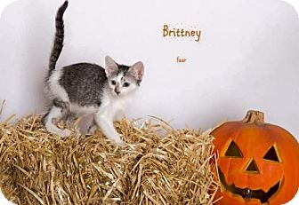 Domestic Shorthair Kitten for adoption in Corona, California - BRITTNEY