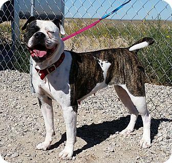 American Bulldog Dog for adoption in Sterling, Colorado - Roxie