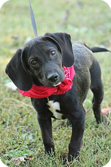 Dachshund/Beagle Mix Puppy for adoption in Cranford, New Jersey - Dolly