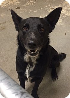 Shepherd (Unknown Type) Mix Dog for adoption in Greensburg, Pennsylvania - Murphy