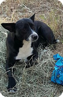 Border Collie/Feist Mix Dog for adoption in Baileyton, Alabama - Cindy