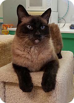 Siamese Cat for adoption in Scottsdale, Arizona - Baby