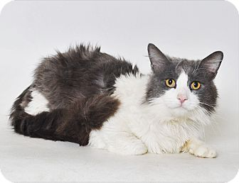 Domestic Mediumhair Cat for adoption in Fruit Heights, Utah - Noodle