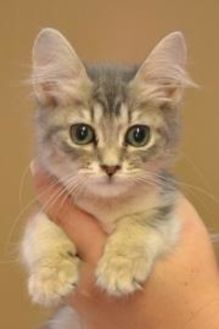 Domestic Mediumhair/Domestic Shorthair Mix Cat for adoption in Monticello, Georgia - Misty