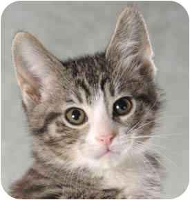 Domestic Shorthair Kitten for adoption in Chicago, Illinois - Memphis