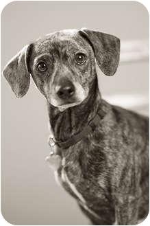 Dachshund/Rat Terrier Mix Dog for adoption in Portland, Oregon - LJ