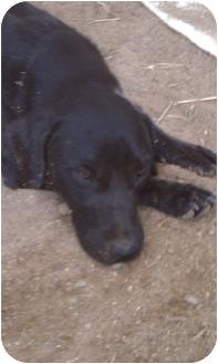 Labrador Retriever/Retriever (Unknown Type) Mix Dog for adoption in castalian springs, Tennessee - Dabne