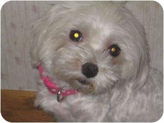 Maltese Dog for adoption in Columbus, Nebraska - Tinkerbelle