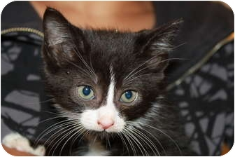Domestic Shorthair Kitten for adoption in Broadway, New Jersey - Twinkie