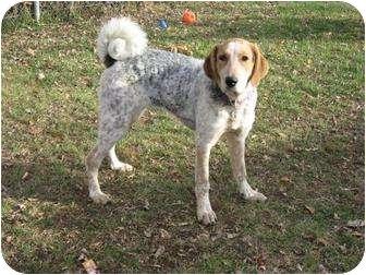 Pointer/Chesapeake Bay Retriever Mix Dog for adoption in Saskatoon, Saskatchewan - Curly Sue (Suzy)