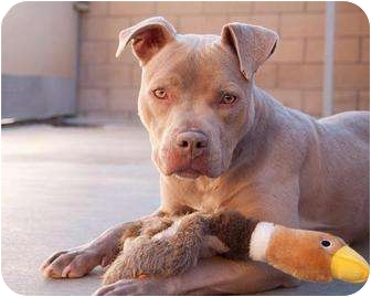 American Pit Bull Terrier Puppy for adoption in Fort Irwin, California - Sasha