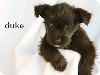 Scottie, Scottish Terrier/Shepherd (Unknown Type) Mix Puppy for adoption in Mission Viejo, California - Duke