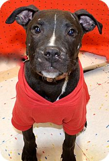 American Pit Bull Terrier/Labrador Retriever Mix Puppy for adoption in Detroit, Michigan - Flip-Adopted!