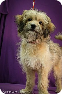 Terrier (Unknown Type, Medium) Mix Puppy for adoption in Broomfield, Colorado - Stormy