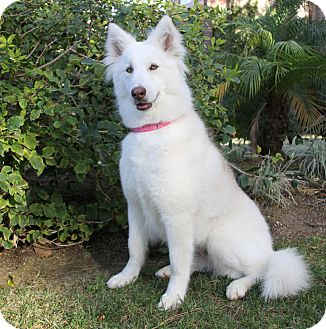 Husky Mix Dog for adoption in Newport Beach, California - CRYSTAL