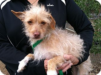 Terrier (Unknown Type, Small)/Poodle (Miniature) Mix Dog for adoption in Nuevo, California - TAFFY