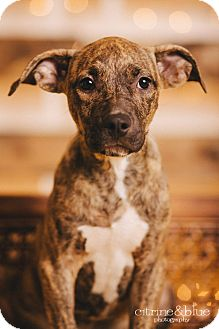 Pit Bull Terrier Mix Puppy for adoption in Portland, Oregon - Molly Mae