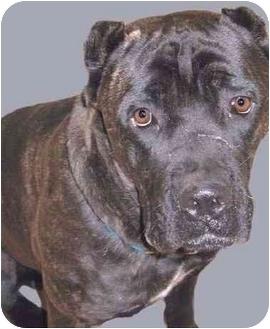 Cane Corso/Mastiff Mix Dog for adoption in Grass Valley, California - De Niro