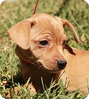 Dachshund/Chihuahua Mix Puppy for adoption in Foster, Rhode Island - Rose (IN NEW ENGLAND)