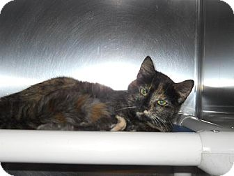 Domestic Shorthair Cat for adoption in Lewisburg, West Virginia - Timber