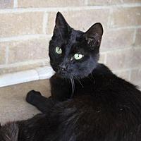 Domestic Shorthair Cat for adoption in Dallas, Texas - THOMAS