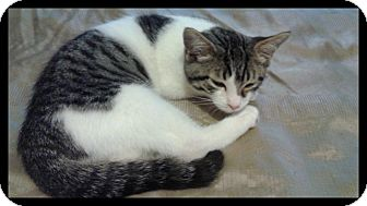 Domestic Shorthair Kitten for adoption in Ottawa, Ontario - Jr