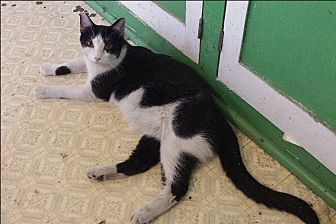 Domestic Shorthair Cat for adoption in Dallas, Texas - Starlet