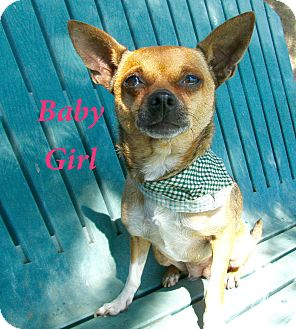 Chihuahua Mix Dog for adoption in El Cajon, California - Baby Girl