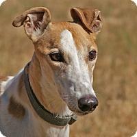 Adopt A Pet :: Maya - Portland, OR