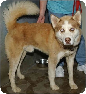 "Husky Mix Dog for adoption in Various Locations, Indiana - ""Truman is Urgent"""