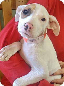Boxer/Pointer Mix Puppy for adoption in Colorado Springs, Colorado - Darra