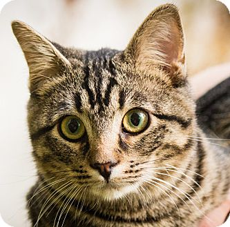 Domestic Shorthair Cat for adoption in Midvale, Utah - Atlas