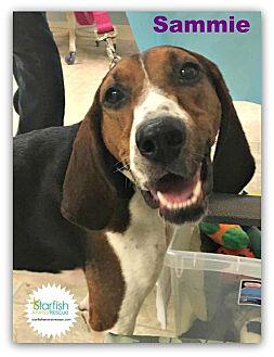 Treeing Walker Coonhound Mix Dog for adoption in Plainfield, Illinois - Sammie