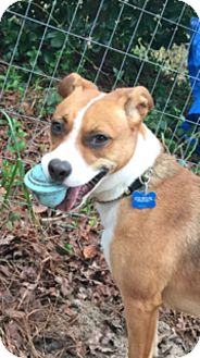Beagle/Terrier (Unknown Type, Medium) Mix Dog for adoption in Wallops Island, Virginia - Ruby