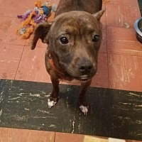 Jack Russell Terrier Mix Dog for adoption in Brooksville, Florida - Chloe