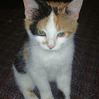 Adopt A Pet :: Latte - Albemarle, NC
