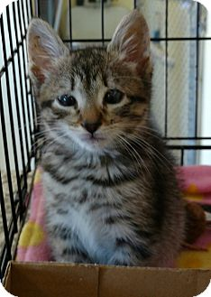 Domestic Shorthair Kitten for adoption in Randolph, New Jersey - Tire- good with dogs & cats!
