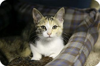 Domestic Shorthair Kitten for adoption in Germantown, Ohio - Mandy