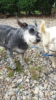 Schnauzer (Standard) Mix Dog for adoption in Oakton, Virginia - Jane