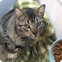 Adopt A Pet :: Blackhawk - Lakewood, CO