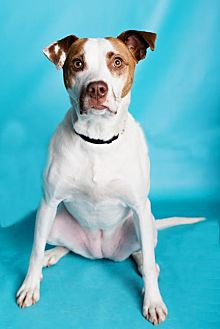 Hound (Unknown Type) Mix Dog for adoption in Armonk, New York - Meg