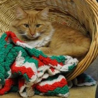Domestic Longhair/Domestic Shorthair Mix Cat for adoption in Elk Grove Village, Illinois - Charlie