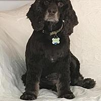 Cocker Spaniel Dog for adoption in Oakhurst, New Jersey - Maggie