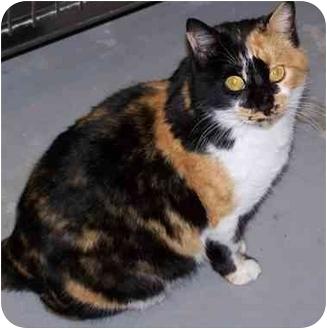 Calico Cat for adoption in Aledo, Illinois - spicy