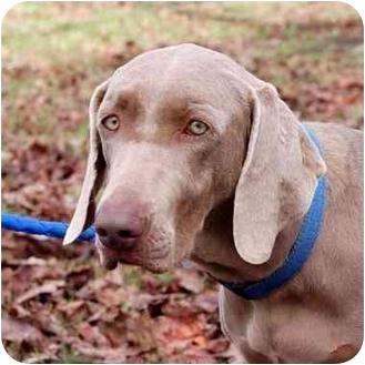 Weimaraner Dog for adoption in Murfreesboro, Tennessee - Chloe