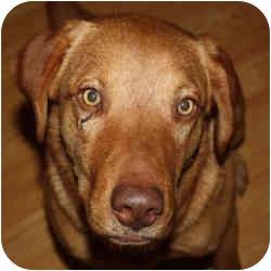 Chesapeake Bay Retriever/Golden Retriever Mix Dog for adoption in Marion, Arkansas - Ryan