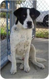 Retriever (Unknown Type) Mix Puppy for adoption in Greenville, North Carolina - Abbott & Costello