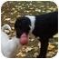 Photo 4 - Border Collie/Irish Setter Mix Dog for adoption in Emmett, Idaho - ZEKE